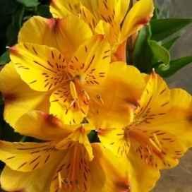 Alstroemeria - Apulia Plants