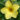 Allamanda – Apulia Plants