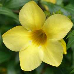 Allamanda - Apulia Plants