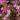 Boronia – Apulia Plants