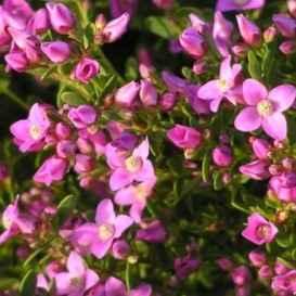 Boronia - Apulia Plants