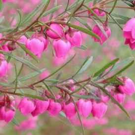 BORONIA-ETEROPHYLLA - Apulia Plants