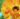 CALENDULA – apulia plants