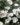 Convolvolus Cneorum – Apulia Plants
