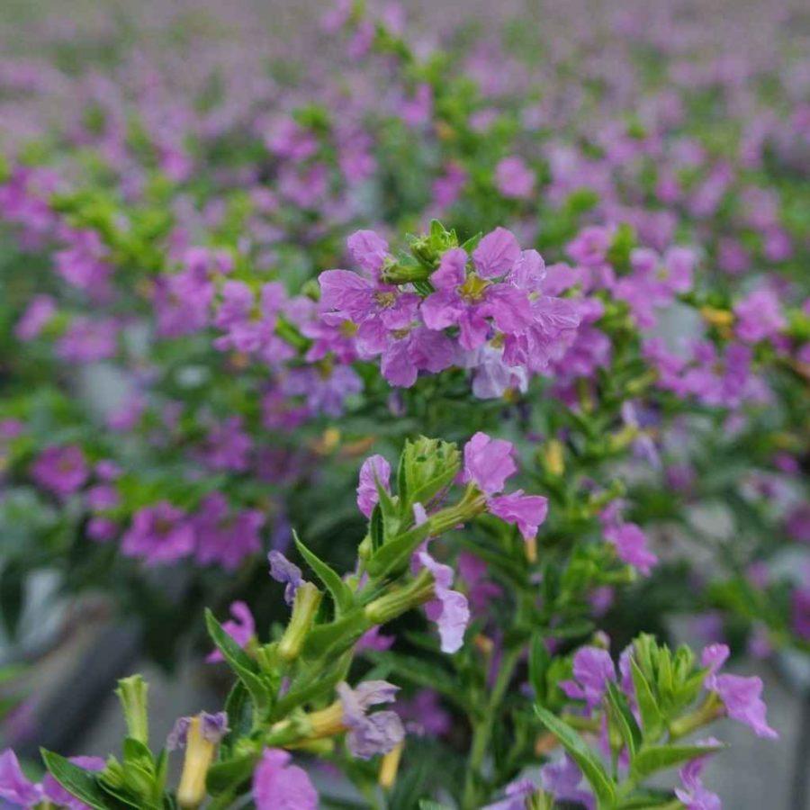Cuphea - Apulia Plants