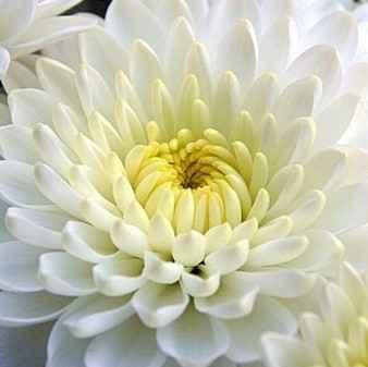 Crisantemo - Apulia Plants