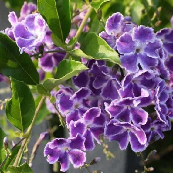 duranta - apulia plants