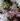 GELSOMINO – apulia plants