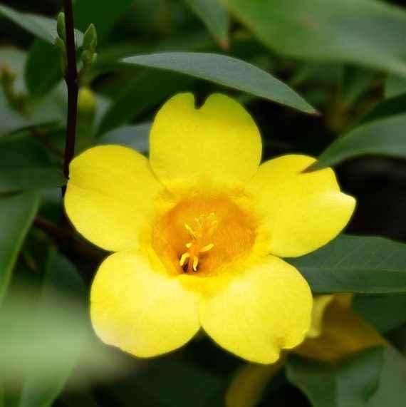 Gelsemium - apulia plants