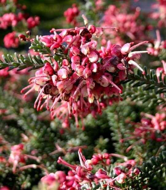 Grevillea - Apulia Plants
