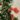 Punica Granatum (Punca Granatum)- Apulia Plants