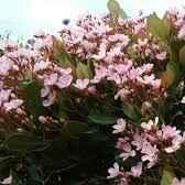 Rapiolephis - Apulia Plants