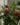 Rosa – Apulia Plants