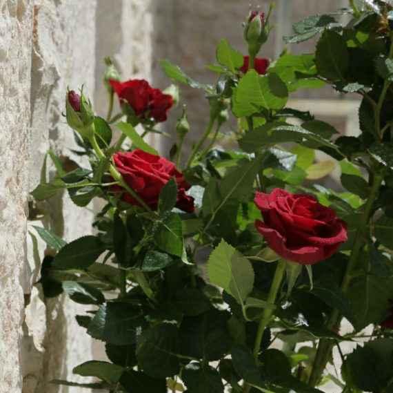 Rosa - Apulia Plants