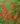 Russelia – Apulia Plants