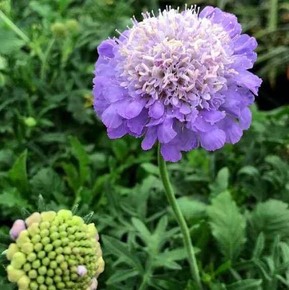 Scabiosa - Apulia Plants