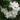 Solanum Jasminoides – Apulia Plants