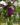 Vinca Minor – Apulia Plants