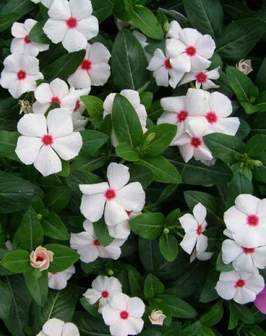 Vinca o Pervinca - Apulia Plants