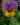 Viola – Apulia Plants