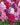 Violacciocca – Apulia Plants