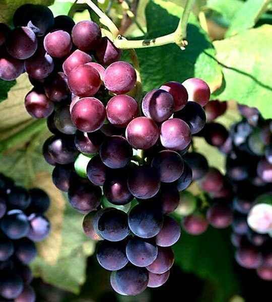 Vitis Vinifera (vite) - Apulia Plants