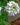 Iberis – apulia plants