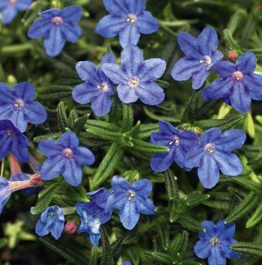 LITHODORA - apulia plants