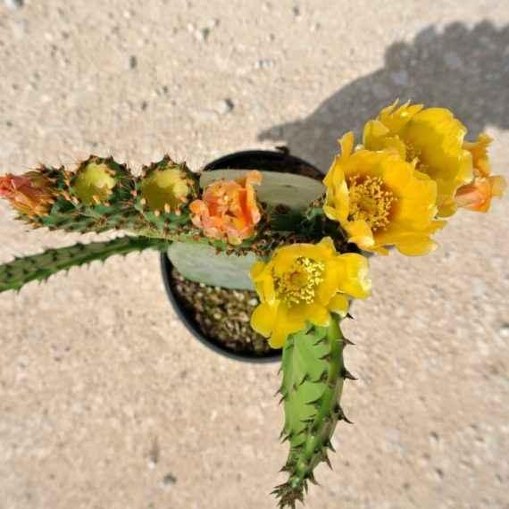 opuntia - apulia plants