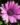 Osteospermum – Apulia Plants