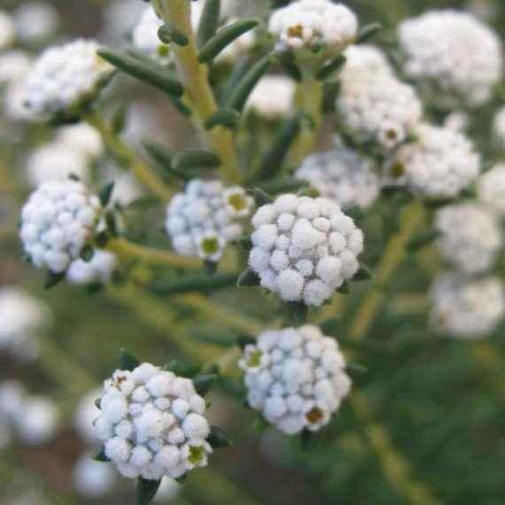 Phylica - Apulia Plants