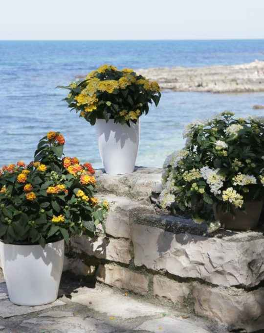 lantana - apulia plants