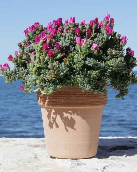 Mesembryanthemum - Apulia Plants