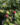 Carissa Macrocarpa – Apulia Plants