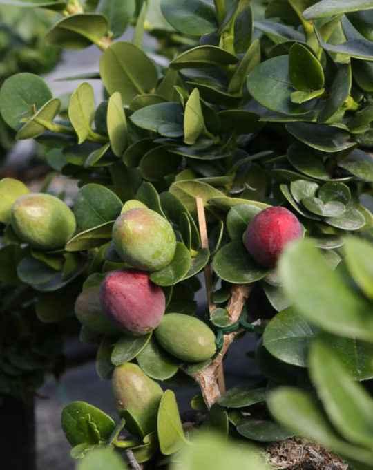 Carissa Macrocarpa - Apulia Plants
