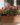 delosperma – apulia plants
