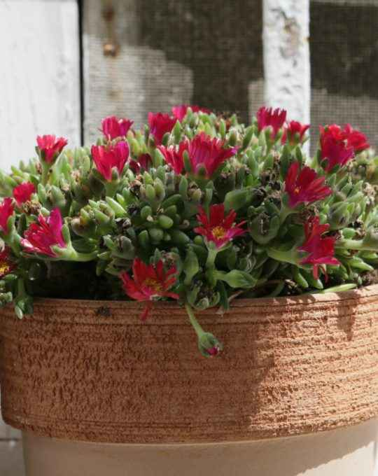 delosperma - apulia plants