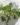 ficus carica – apulia plants