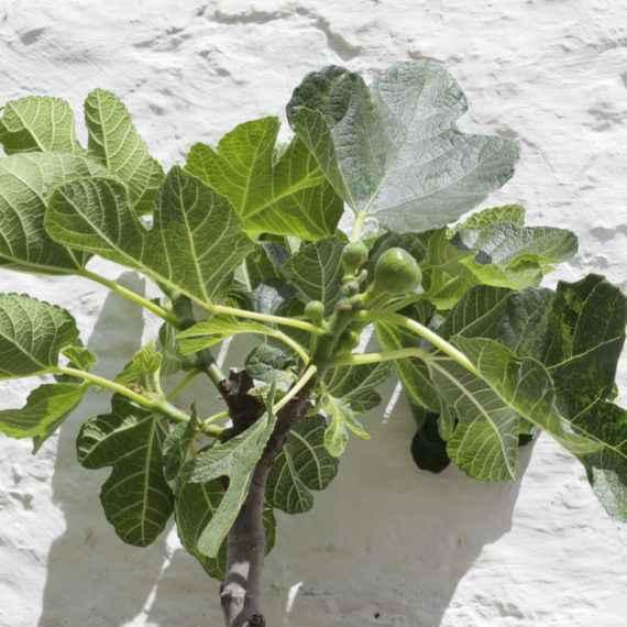ficus carica - apulia plants