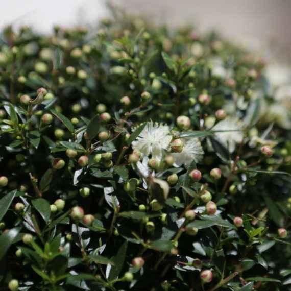 mirto - apulia plants