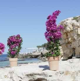 boungavillea - apulia plants