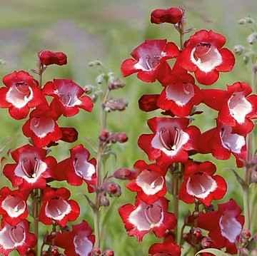 Penstemon - Apulia Plants