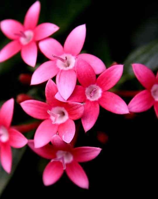 pentas - apulia plants