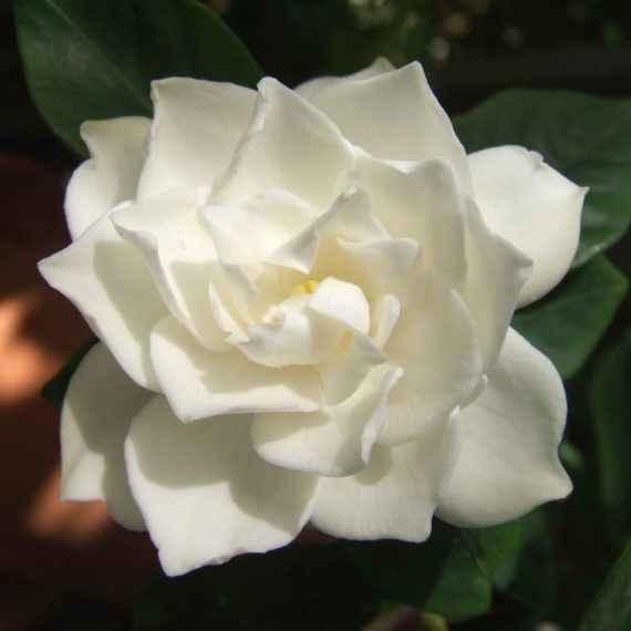 gardenia - apulia plants