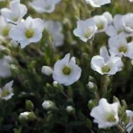 arenaria_montana - apulia plants