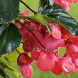 begonia - apulia plants