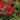 calibrachoa – Apulia Plants