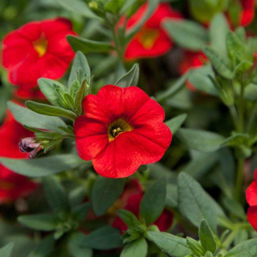 calibrachoa - Apulia Plants