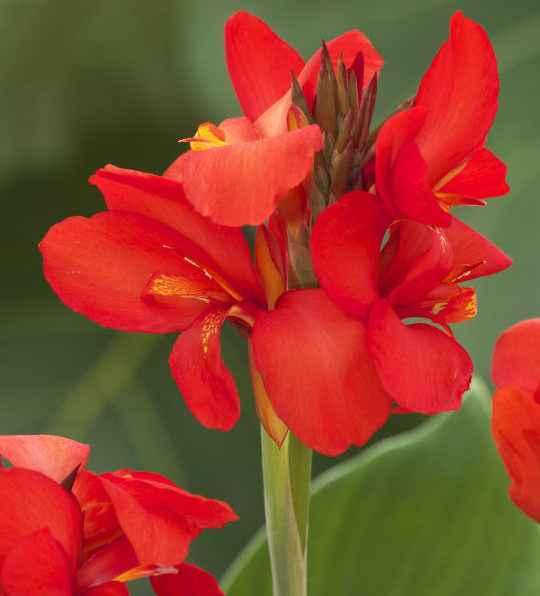 canna-indica - Apulia Plants