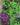 clematis – apulia plants